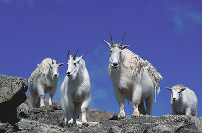 Mountain Goats on Mount Evans, near Idaho  Springs, Colorado.
