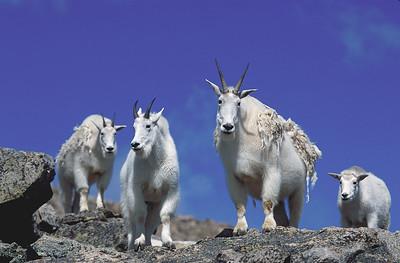 Mountain Goats on Mount Evans, near Idaho  Springs, Colorado.