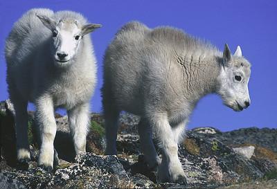 Baby Mountain Goats on Mount Evans, near Idaho  Springs, Colorado.