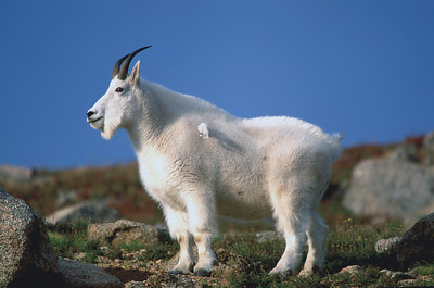 Mountain Goat on Mount Evans, near Idaho  Springs, Colorado.