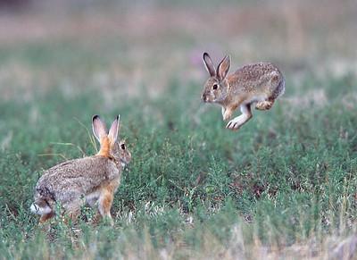Boxing rabbits at Bear Creek Lake Park, Lakewood, Colorado.