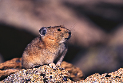Mountain Pika at Rocky Mountain National Park near Estes Park, Colorado.