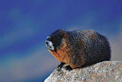 Yellow Bellied Marmot on Mount Evans, near Idaho Springs, Colorado.
