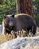 Momma Bear; Rocky Mt. National Park, CO
