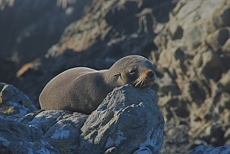 Sunning Seal; South Island, New Zealand