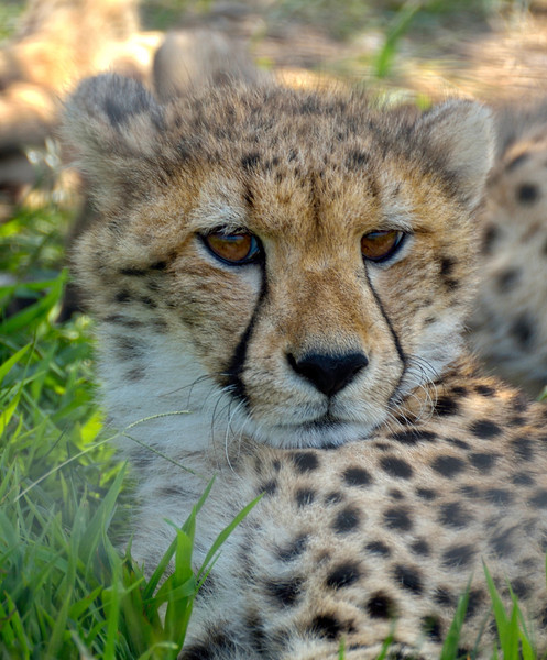 Looking For Prey; Baby Cheetah, The Wilds, Cumberland, OH
