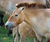Przewalski's Wild Horse; The Wilds, Cumberland, OH