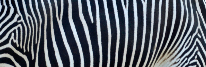 Living Rug; Grevey's Zebra, The Wilds, Cumberland, OH