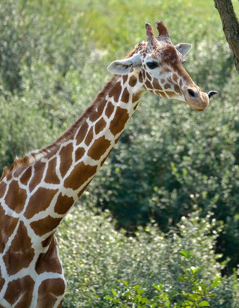 See My Tongue?  Masai Giraffe at The Wilds, Cumberland, OH