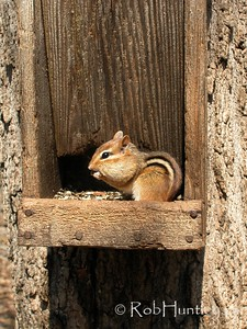 Chipmunk eating at a bird feeder.  © Rob Huntley