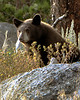 Baby Bear; Rocky Mt. National Park, CO