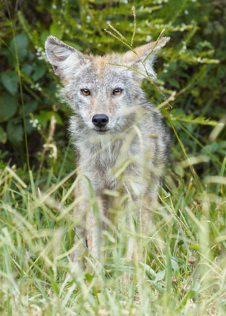 This young coyote looked pretty scrawny in the heat of summer.