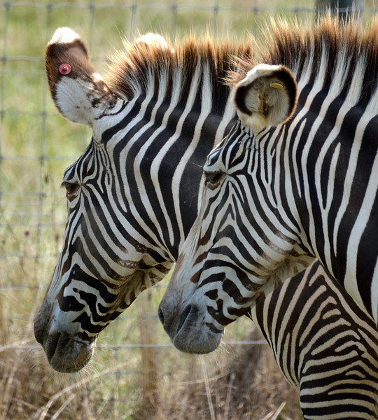 Pinstriped Pair; Grevey's Zebras, The Wilds, Cumberland, OH