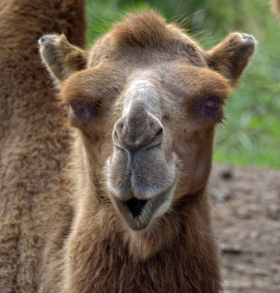 Are You Looking at Me?  Bactrian Camel; The Wilds, Cumberland, OH
