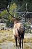 What Have They Done to My Home?  Bull Elk in Estes Park, CO
