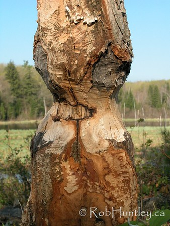 Signs of beaver around.  Gnawed tree shows the power of a beaver\'s teeth. Background showing habitat of this rodent in the Gatineau Park of Quebec.  © Rob Huntley