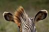 Zebra Mohawk; Grevey's Zebra, The Wilds, Cumberland, OH