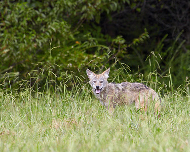 Young Coyote.