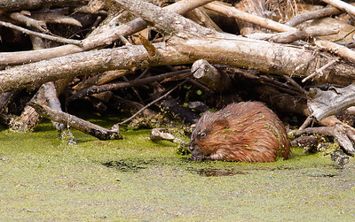 Large Muskrat munching on duckweed.