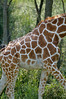 Giraffe Patterns; Reticulated Giraffe, The Wilds, Cumberland, OH
