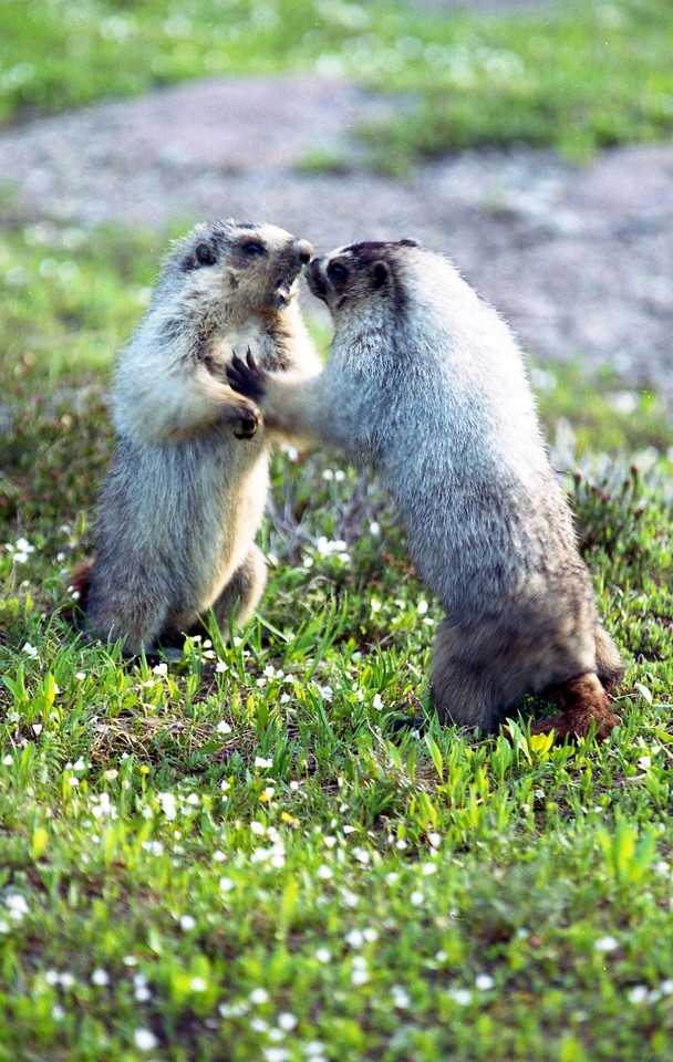 Hoary Marmots boxing.  Glacier NP, MT<br /> <br /> © Kirk Sagers