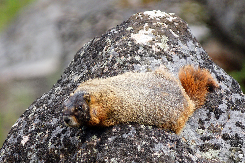 Yellow Bellied Marmot sunning near Gardiner, MT<br /> <br /> © Kirk Sagers