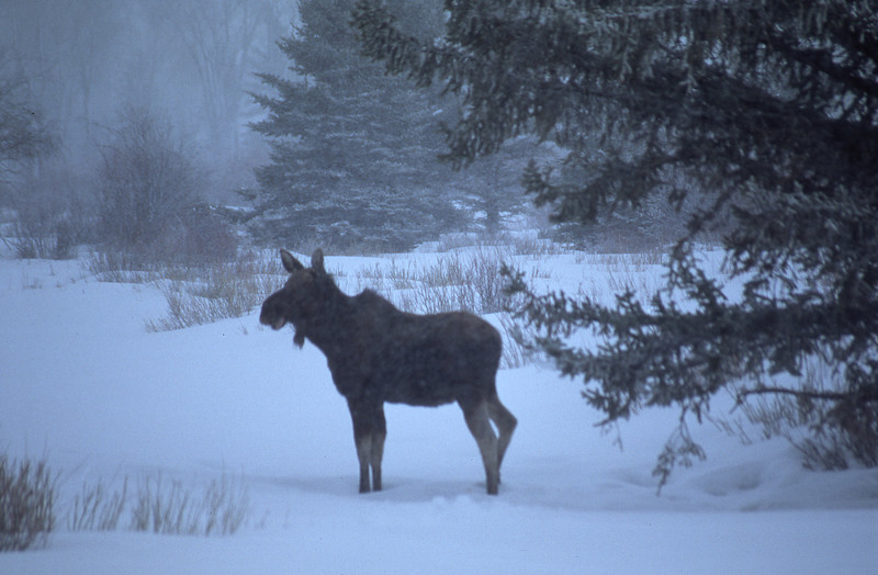 Moose in a building blizzard, near Moran Jct.  Grand Teton NP, WY<br /> <br /> © Kirk Sagers