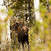 Young Shiras Moose Northern Utah Sept 2013