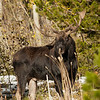 Shiras Moose Northern Utah Sept 2013