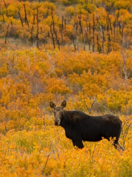 Moose in the fall near Cascade springs, Utah