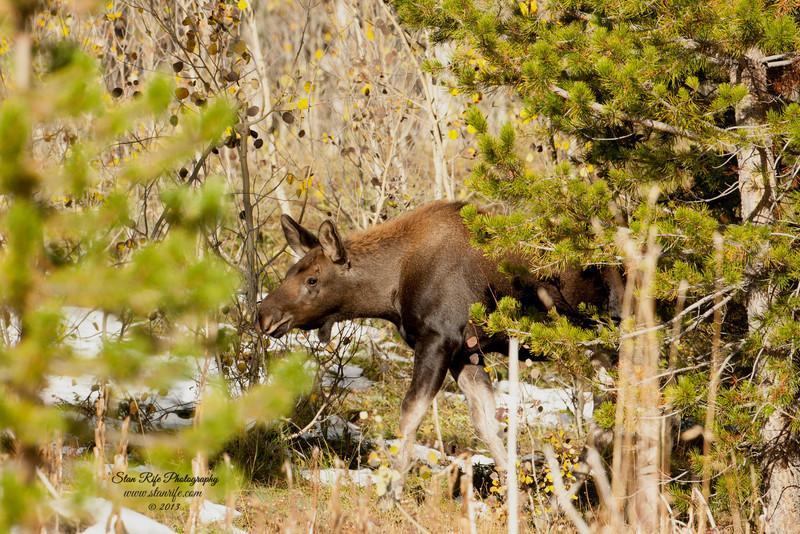Young Shiras Moose Northern Utah Sept 2013