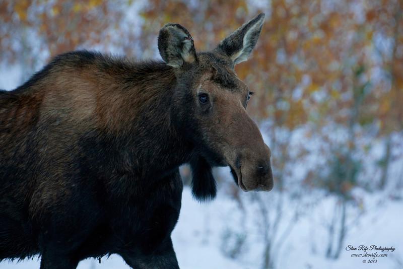 Shiras Moose Northern Utah Sept 2013