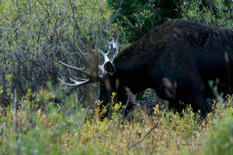 Unitah Bull, Northern Utah