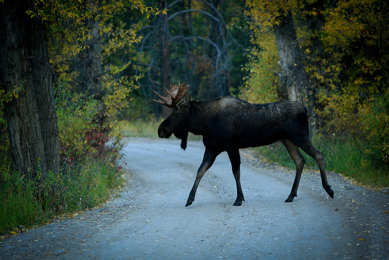 A younger Bull moose crossing the road. (Shiras - Moose) Jackson Wyoming area