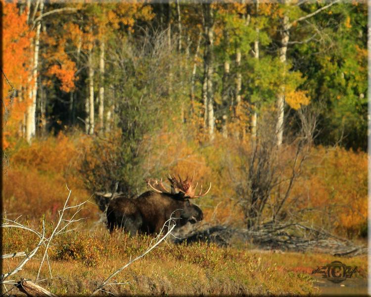 Sirus moose near Jackson Wy. Fall 2010