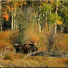 Sirus moose near Jackson Wy. Fall 2010