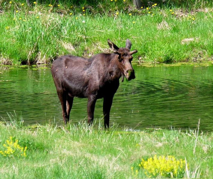 Moss eating moose in South fork pond (Utah).
