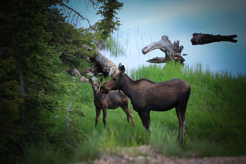 Shiras Moose , Cow and calf in the  Utah wilderness near Mirror Lake