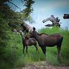 Shiras Moose , Cow and calf in the  Utah wilderness near Mirror Lake
