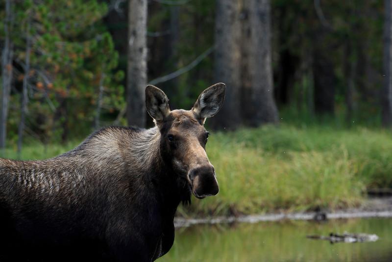 Shirus - Cow Moose - Northern Utah