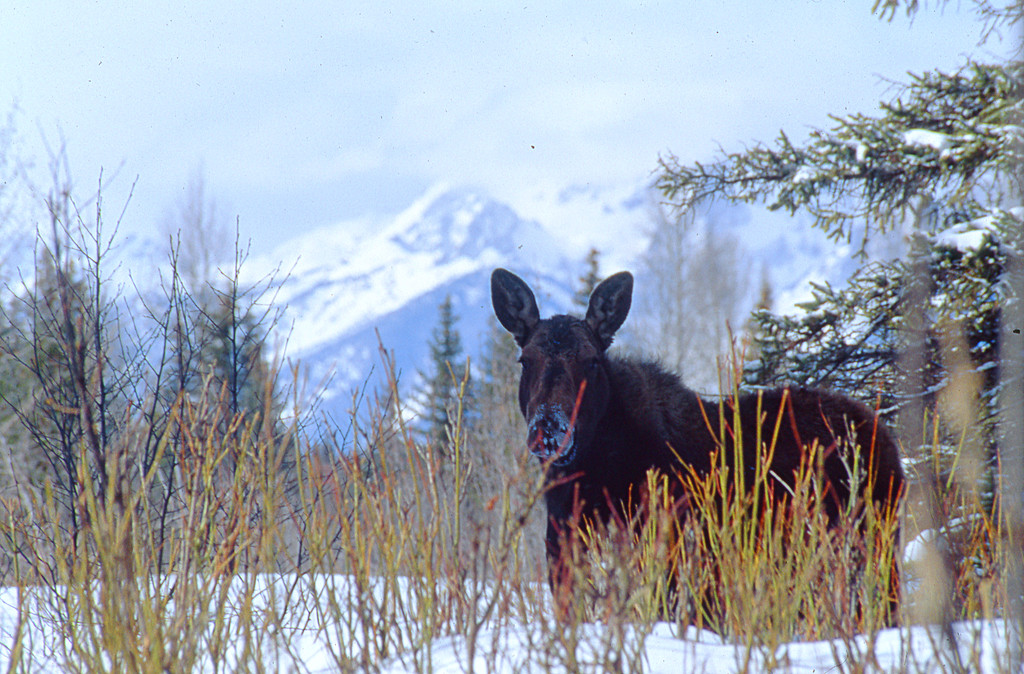Moose knee deep in snow.  Grand Teton NP, WY<br /> <br /> (Moose is probably contemplating ways to kill me.)<br /> <br /> © Kirk Sagers