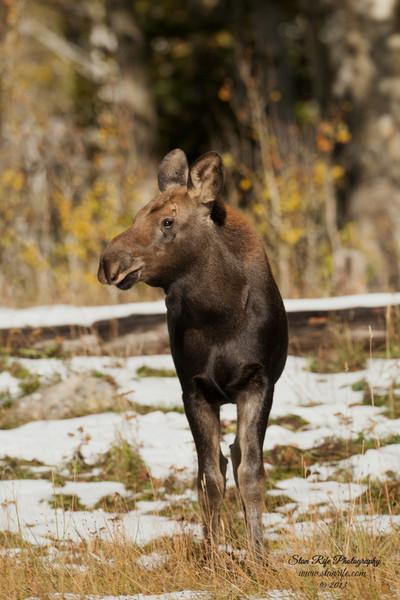 Young and curious Shiras Moose Northern Utah Sept 2013