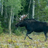 Shirus Moose take near Mirror Lake in Utah