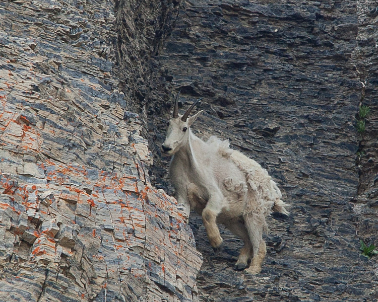 Shaggy Goat in the high country, Utah