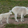White Mtn goats, High Uintahs, Utah