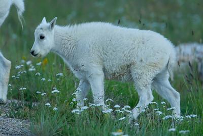 Young kid Goat in the northern Uintah Mtns near Mirror Lake, Utah
