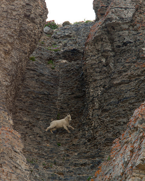 Kid goat getting up speed to get to the top