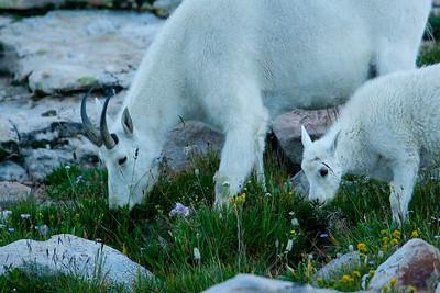 White Mountain Goat, Nanny and kid.  Unitah mountains, Northern Utah