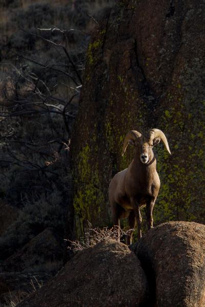 Big horn Sheep  near Leadville Colo