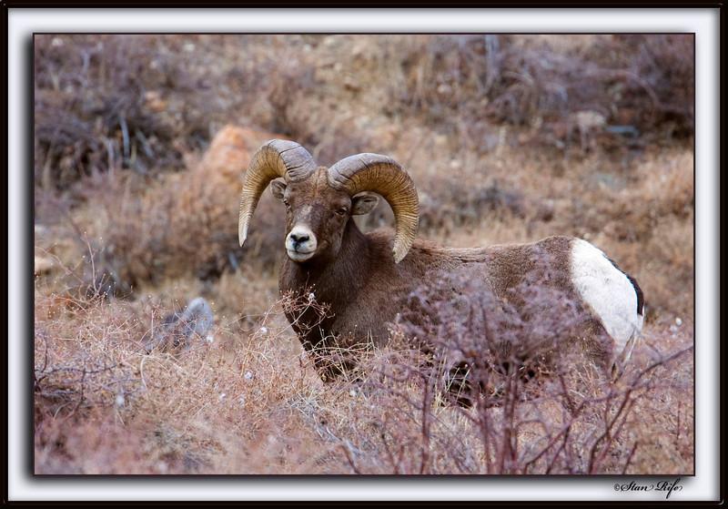 The Ram, Rocky Mtn. Big Horn
